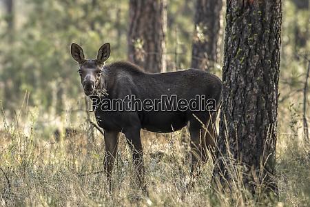 moose calf eatng plants