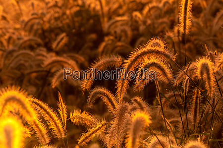 grass flower in the morning at