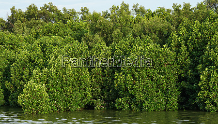 mangrove forests abundant
