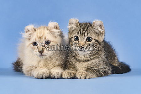 cats american curl 2019 18029