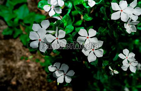 catharanthus roseus west indian periwinkle madagascar