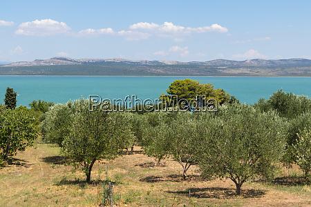 groves of olive trees surrounding vransko