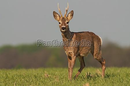 roe deer in winter coating