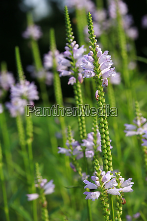 obedient plant obedience or false dragonhead