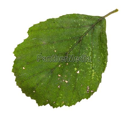 diseased green leaf of alder tree