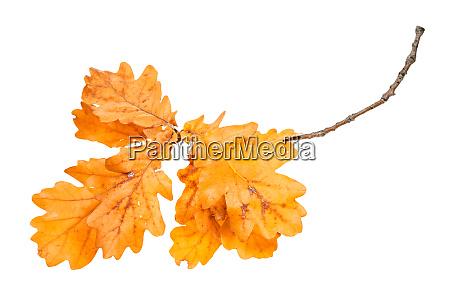 branch with orange oak leaves in