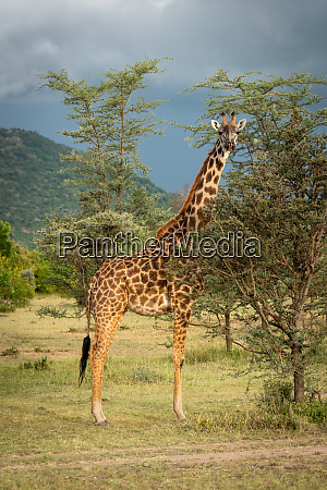 masai giraffe stands eyeing camera under