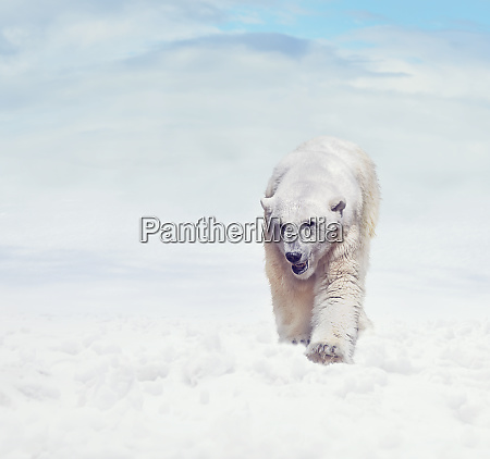 polar bear walking on snow
