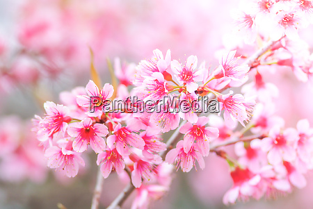 cherry blossom in spring with soft
