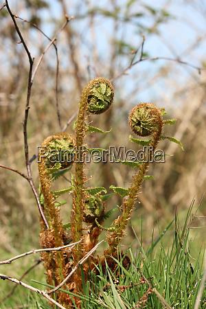 fern fronds growing