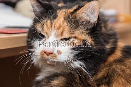 dreamy tricolor domestic cat
