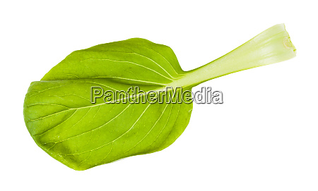 fresh leaf of bok choy