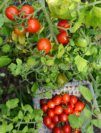 plump red tomatoes on the vine