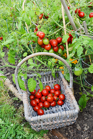 basket half filled with cherry tomatoes