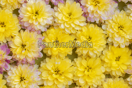 carpet of flowers of bright yellow