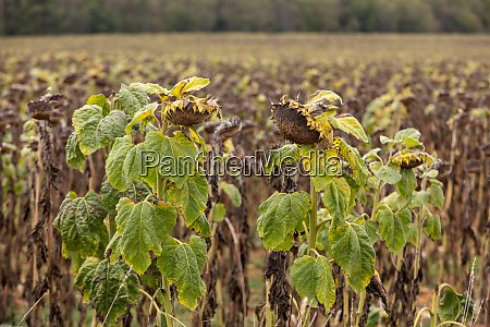 field of drying sunflowers in aquitaine
