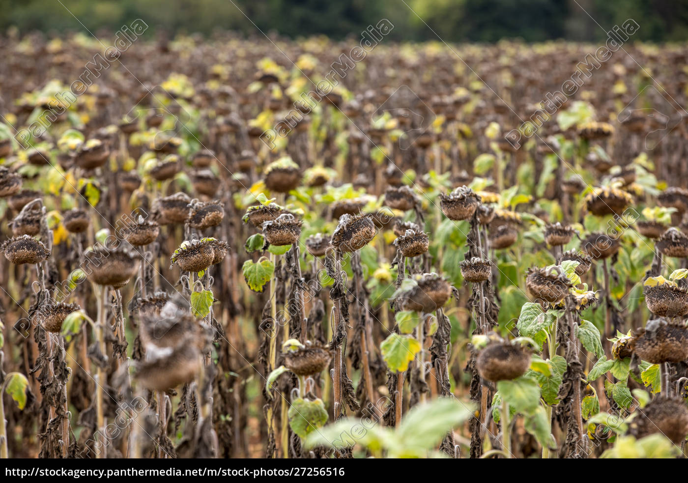 field, of, drying, sunflowers, in, aquitaine. - 27256516
