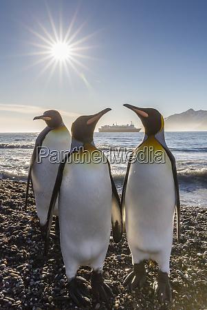 king penguins aptenodytes patagonicus at sunrise