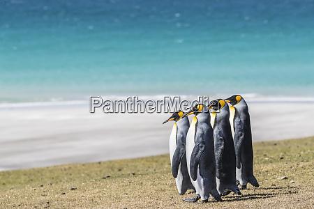 adult king penguins aptenodytes patagonicus on