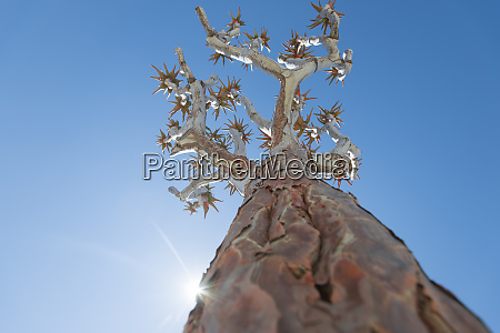 the quiver tree in namibia gets