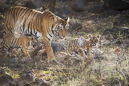 bengal, tiger, (panthera, tigris, tigris), , ranthambhore, - 27258492