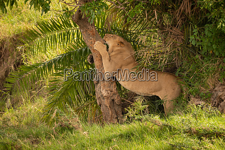 young male lion sharpens claws on