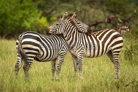two plains zebra lean on each