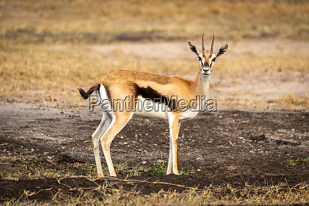 thomson, gazelle, stands, in, profile, watching - 27261094