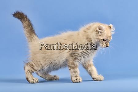 cats american curl 2019 18056