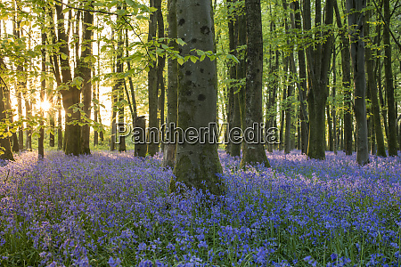 bluebells cover a woodland floor during