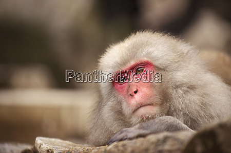 japanese macaque jigokudani nagano japan asia