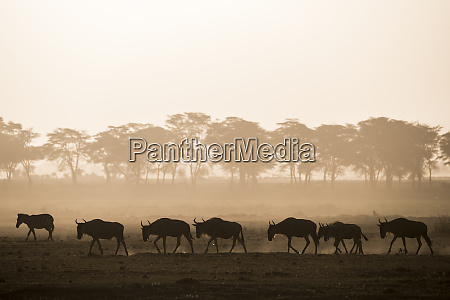 wildebeests and zebras on the move