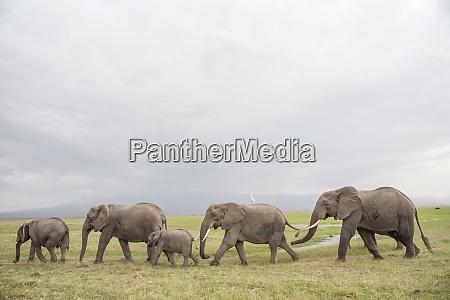 elephants on the move in amboseli