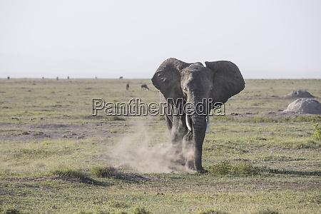 elephant stirring up dust in amboseli