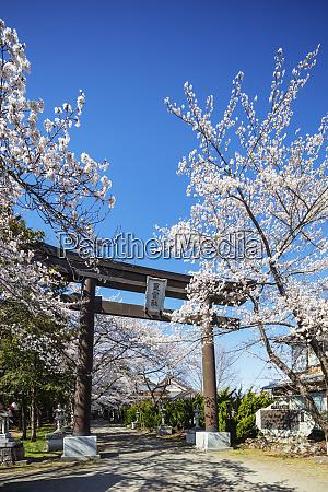 cherry blossom and a torii gate