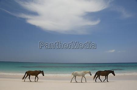 horses walking on pink sands beach