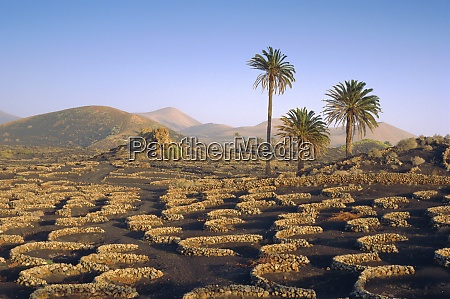 palm trees and cultivation in volcanic