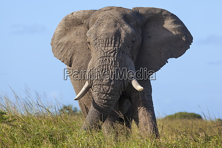 african elephant bull loxodonta africana phinda