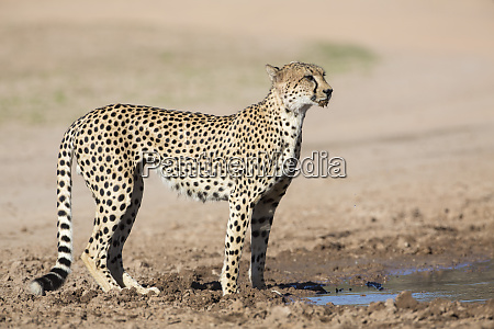 cheetah acinonyx jubatus at water kgalagadi