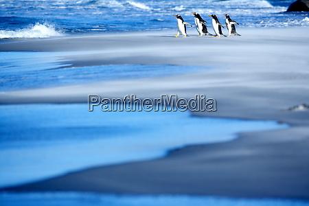gentoo penguins pygocelis papua papua walking