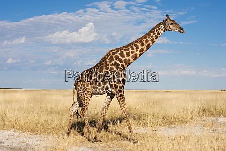 giraffe giraffa camelopardalis etosha national park