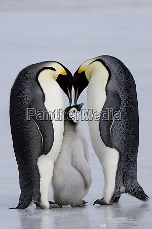 emperor penguin chick and adulta aptenodytes