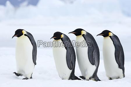 emperor penguins aptenodytes forsteri snow hill