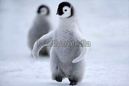 emperor penguin chick aptenodytes forsteri snow