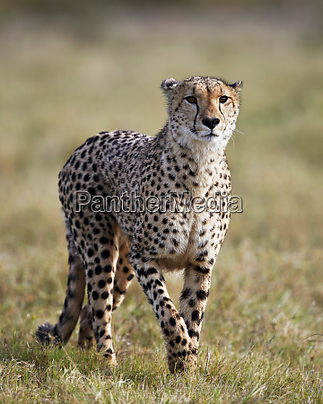 cheetah acinonyx jubatus addo elephant national