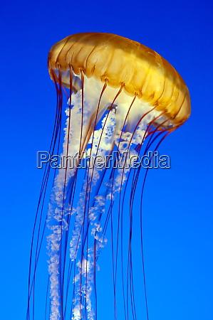 sea nettle jellyfish chrysaora fuscescens monterey