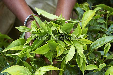 tea tea plantations munnar kerala india