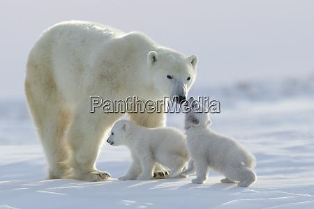 polar bear ursus maritimus and cubs