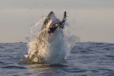 great white shark carcharodon carcharias seal