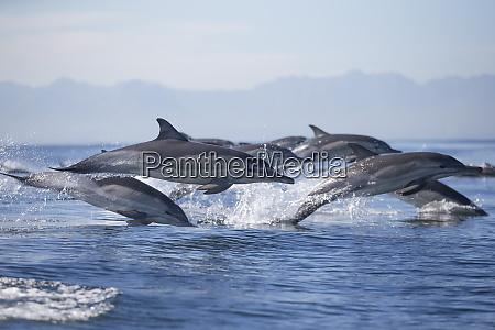 common dolphin delphinus capensis seal island